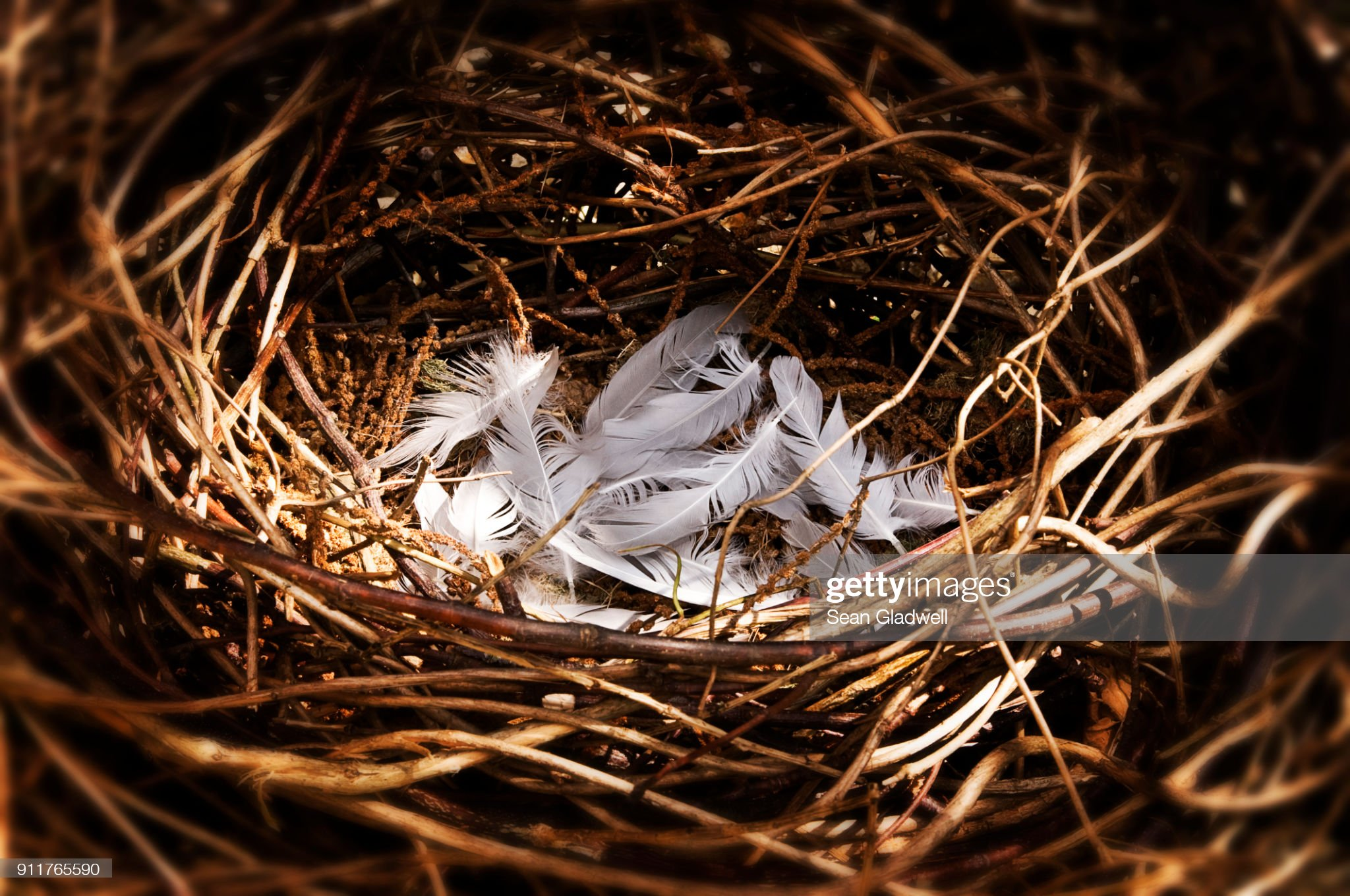 Feathered nest : Stock Photo
