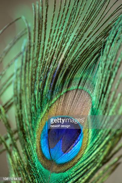 Feathers of a peacock