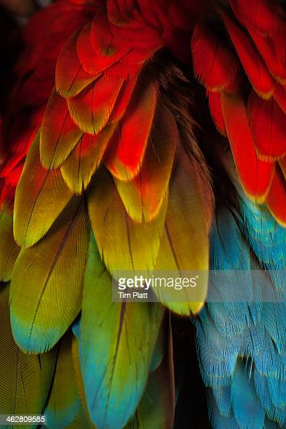 feathers on a green winged macaw - bright colour stock pictures, royalty-free photos & images