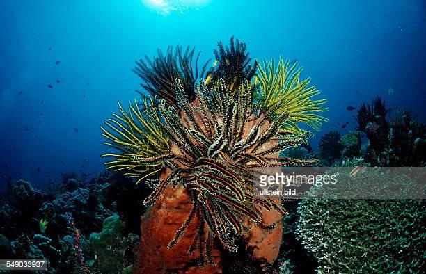 Featherstar, crinoids on sponge, Crinoidea, Indonesia, Wakatobi Dive Resort, Sulawesi, Indian Ocean, Bandasea