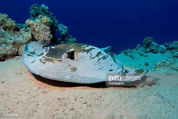 Feathertail Stingray (Pastinachus sephen). Red Sea.