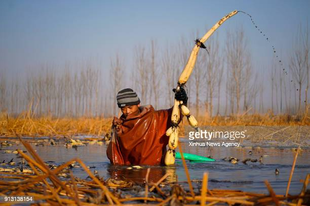 ANXIN Feb 1 2018 A famer picks lotus roots at a planting base in Dongxiangyang Village of Anxin County in Xiongan New Area north China's Hebei...