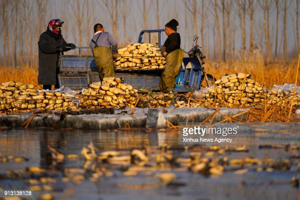 ANXIN Feb 1 2018 Famers wash and load the lotus roots onto a truck at a planting base in Dongxiangyang Village of Anxin County in Xiongan New Area...