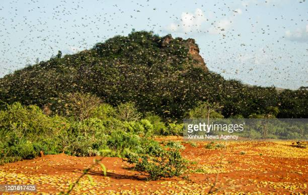 NAIROBI Feb 17 2020 Photo taken on Feb 4 2020 shows a cloud of locusts flying in Mwingi North Kenya A number of East African countries are suffering...