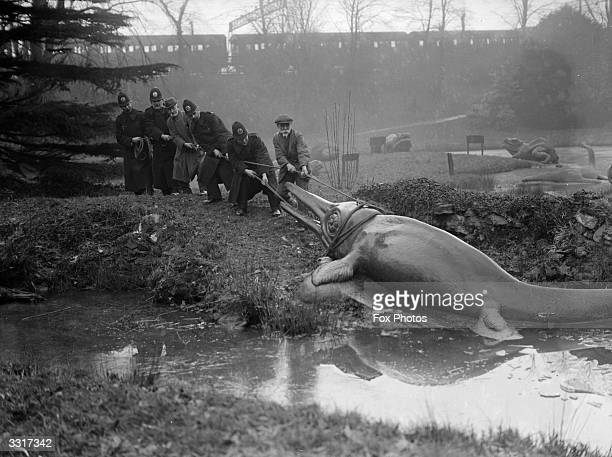 A model of a prehistoric icthyosaurus is dragged from its pond in the grounds of Crystal Palace London for its annual clean The 'keeper' is being...