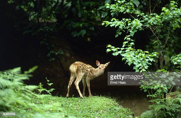 A young Japanese deer grazing by a pool in Nara Deer park southern Honshu It is in its white spotted summer coat