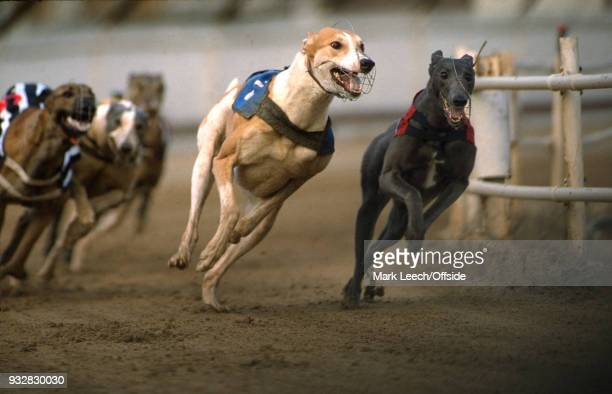 14 February 1989 London the dogs come around a bend at Hackney Greyhound Stadium
