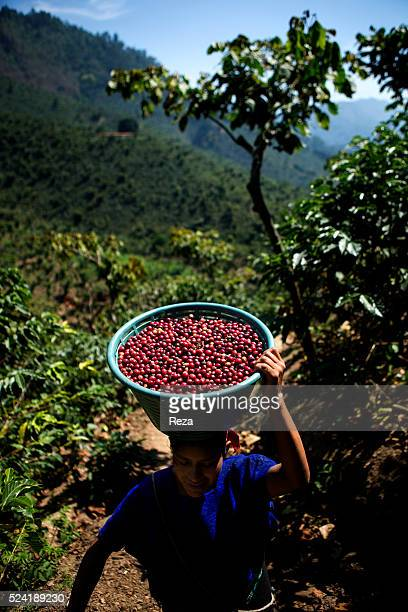 February 2013 San Juan Atitan Huehuetenango department Guatemala Coffee farmer of the plantation wearing on his head a basket of coffee cherries...