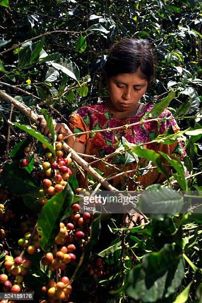 February 2013 Village of Chanjon Guatemala A woman is picking coffee cherries beneath the tiny village of the Guatemalan Asdeflor association that...