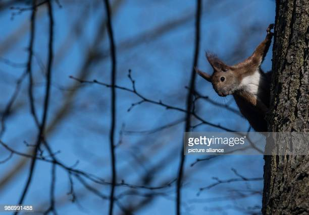 A squirrel sits on a tree and observes its surrounding Photo Paul Zinken/dpa