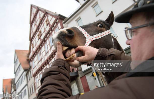 12 February 2019 BadenWuerttemberg Leonberg Horse dealer Robert Maier shows the teeth of a horse at the Leonberger Pferdemarkt on the market square...