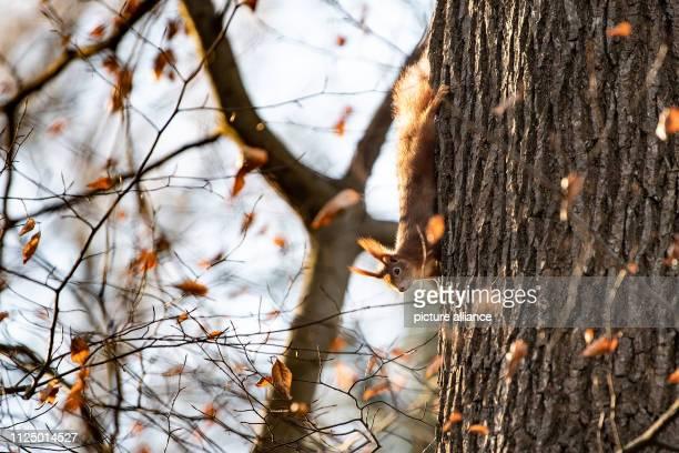 15 February 2019 BadenWuerttemberg Stuttgart A Eurasian squirrel enjoys the sun's rays on a tree Photo Fabian Sommer/dpa