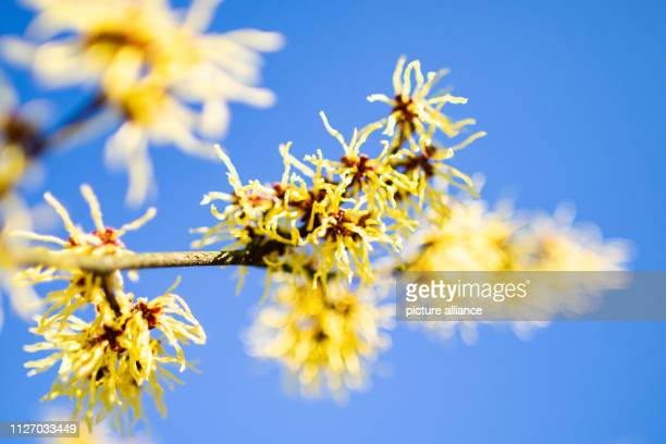 24 February 2019 North RhineWestphalia Recklinghausen Yellow blossoms of a Chinese witch hazel are illuminated by sunrays against a blue sky Photo...