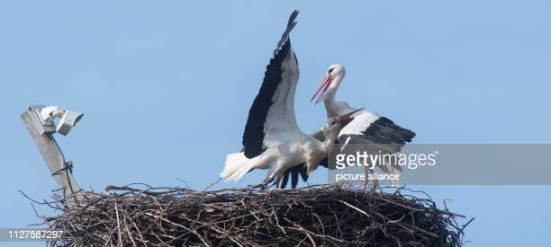 The stork Saskia and her former partner stork Magnus fight together on their ancestral stork nest in the stork yard Magnus had already landed there...