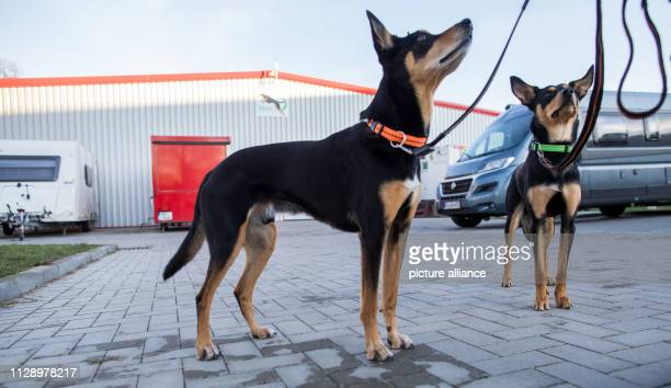 """February 2019, Schleswig-Holstein, Barteheide: The two working kelpie """"Joker"""" and """"Herry P"""" stand in front of the indoor training hall for dog..."""