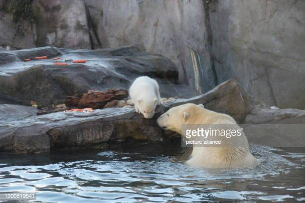 February 2020, Austria, Wien: The baby polar bear, which does not yet have a name and whose sex has not yet been determined, explores the water pool...