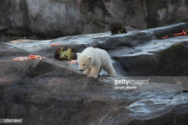 February 2020, Austria, Wien: The baby polar bear, which does not yet have a name and whose sex has not yet been determined, is exploring the outdoor...