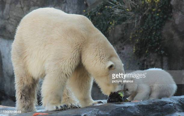February 2020, Austria, Wien: The baby polar bear, which does not yet have a name and whose sex has not yet been determined, eats forehead to...