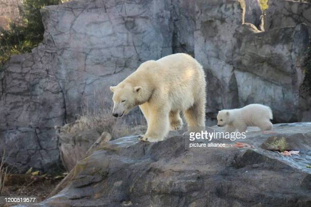 February 2020, Austria, Wien: The baby polar bear, which does not yet have a name and whose sex has not yet been determined, explores the outdoor...