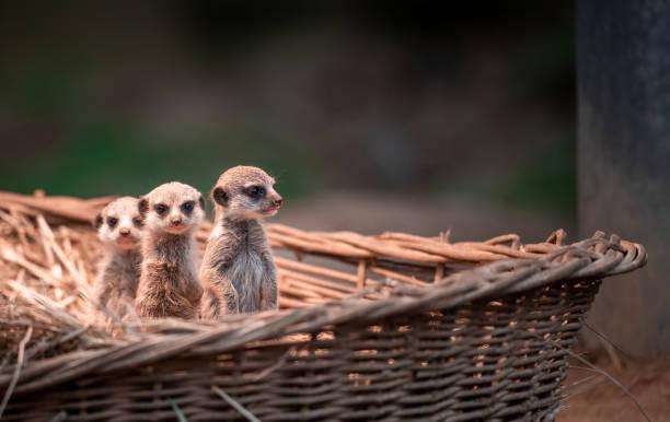 DEU: Three Meerkat Born At Cologne Zoo