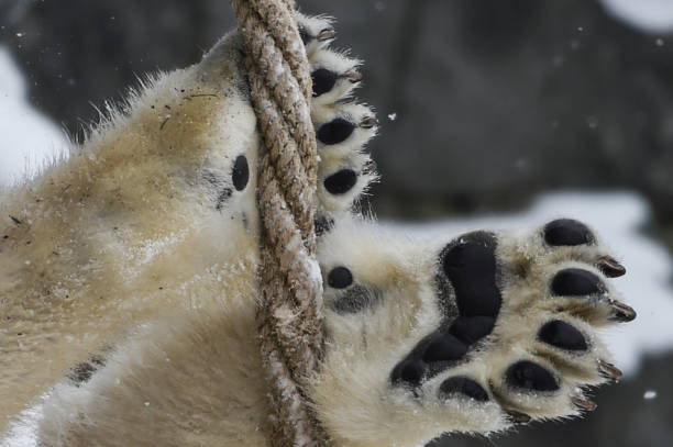 February 2021, Berlin: Two-year-old polar bear Hertha plays with a rope with her paws at Berlin Zoo. Photo: Kira Hofmann/dpa-Zentralbild/ZB