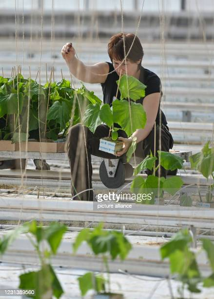 February 2021, Brandenburg, Manschnow: Heidi Schlabe, gardener from Fontana Gartenbau GmbH, places young cucumber plants on substrate with rock wool....