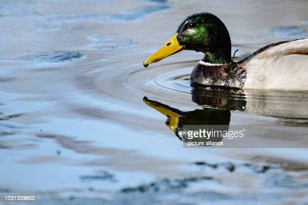 February 2021, Lower Saxony, Göttingen: A duck swims near the melting ice surface on Göttingen's Kiessee lake. Photo: Swen Pförtner/dpa