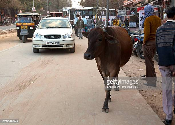 February 6 2012 Cow walking on a street in the city of Jaipur Cows sacred in Hinduism are revered and protected They are free to roam at will without...