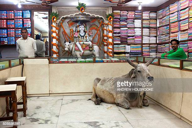 February 9 2012 A cow takes refuge and rests undisturbed on the floor inside a fabric shop in Varanasi A statue of Krishna riding on a cow is the...