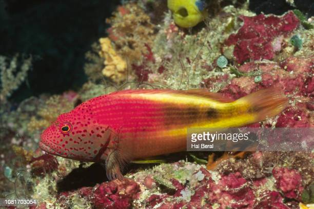 feckled hawkfish - hawkfish stock pictures, royalty-free photos & images