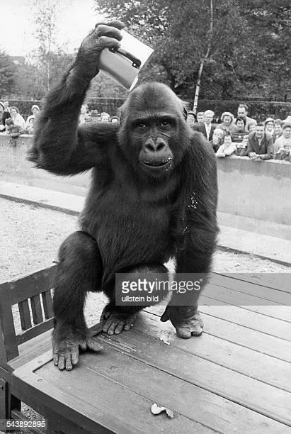 Federal Republic of Germany Berlin Charlottenburg Berlin Zoological Garden Gorilla Knorke at its outdoor enclosure Photographer Jochen Blume...