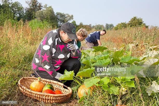 Federal Republic of Germany Brandenburg ecofarming farmyard Kuhhorst disabled persons working on the farm pumpkin harvest 2009