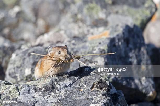 Federation de Russie, Region de Chukotka,Ostrov Yttygran, Pika , recolte du materiel vegetal pour faire son nid dans un terrier. Russia, Chukotka...