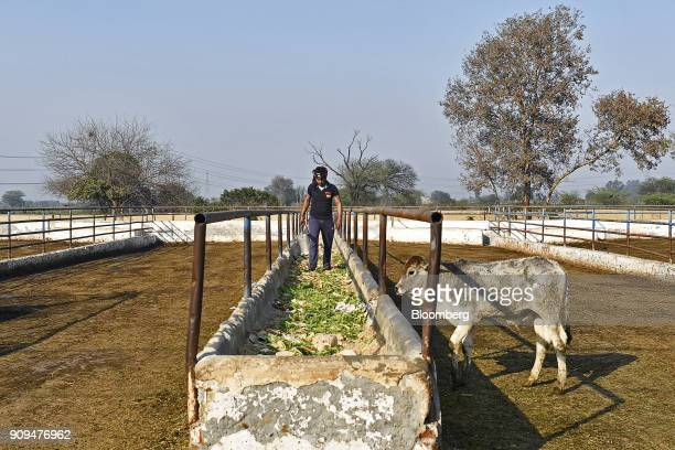 Feed is prepared in a trough for cows at the Sri Krishna Gaushala on the outskirts of New Delhi India on Sunday Jan 21 2018 The nursing home offers...