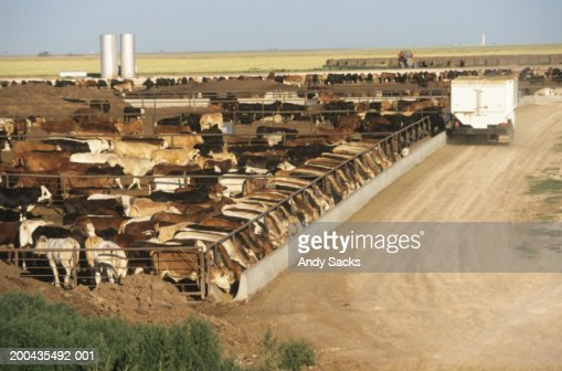 Feed Truck Dumping Grain Into Bunks At Cattle Feedlot