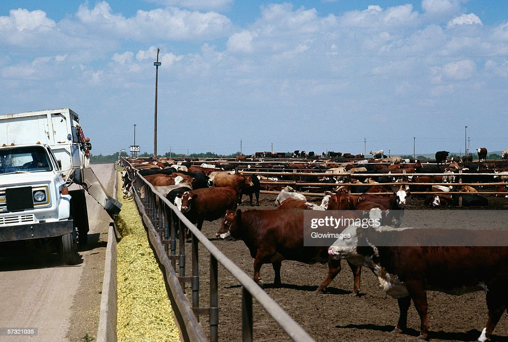 Feed truck loads troughs at Monfort Beef feedlot, near Greeley, Colorado : Stock Photo