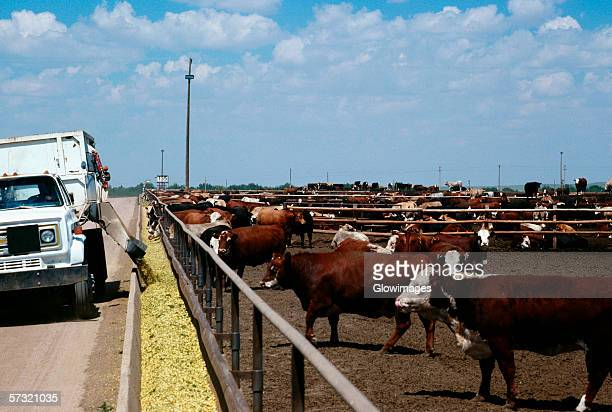 feed truck loads troughs at monfort beef feedlot, near greeley, colorado - greeley colorado stock photos and pictures