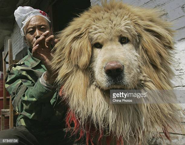A feeder cleans the hair of a Tibetan Mastiff at Xining Purebred Tibetan Mastiff Breeding Base on April 15 2006 in Xining of Qinghai Province China...