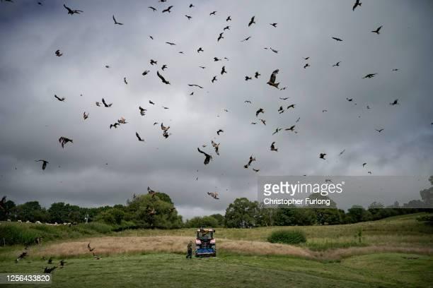 Feeder Colin Horlock distributes food for red kites descending on Gigrin Farm Red Kite Feeding Centre on July 15, 2020 in Rhayder, United Kingdom. As...