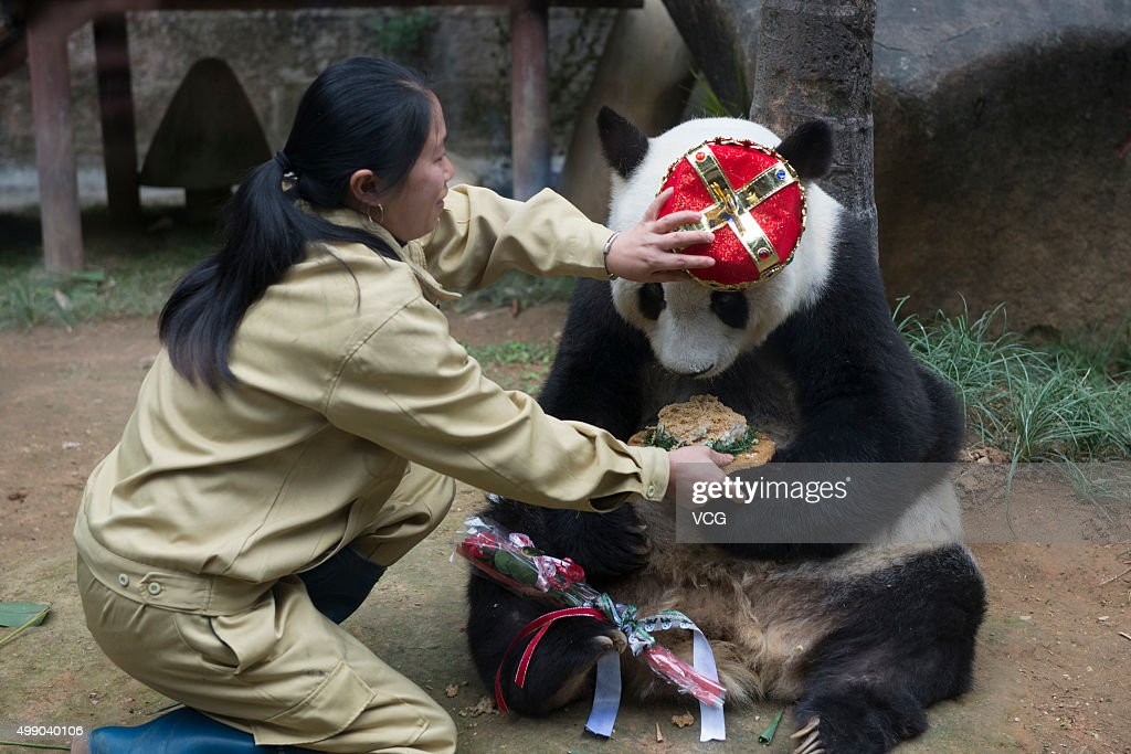 A feeder feeds birthday cake for Basi during its 35th birthday at Fuzhou Panda World on November 28, 2015 in Fuzhou, Fujian Province of China. Basi celebrated her 35th birthday which roughly equals 130 years in human age. It is currently the oldest living panda so far in the world. Basi visited the U.S. San Diego Zoo for shows in 1987. She attracted around 2.5 million visitors during her six-month stay in the United States and amazed many visitors by her acrobatic performances. In 1990, she was chosen as the prototype for Pan Pan, the mascot for the Beijing Asian Games.