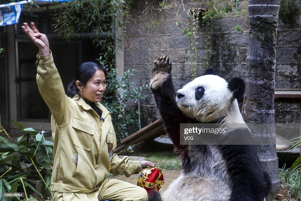 A feeder guides giant panda Basi to wave to visitors during its 35th birthday at Fuzhou Panda World on November 28, 2015 in Fuzhou, Fujian Province of China. Basi celebrated her 35th birthday which roughly equals 130 years in human age. It is currently the oldest living panda so far in the world. Basi visited the U.S. San Diego Zoo for shows in 1987. She attracted around 2.5 million visitors during her six-month stay in the United States and amazed many visitors by her acrobatic performances. In 1990, she was chosen as the prototype for Pan Pan, the mascot for the Beijing Asian Games.