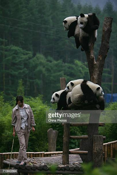 Feeder walks past giant pandas at the China Giant Panda Protection and Research Center, home to about 80 artificially bred pandas, on June 29, 2006...