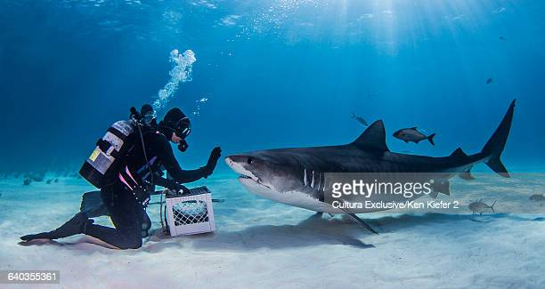 feeder with tiger shark on seabed - requin tigre photos et images de collection