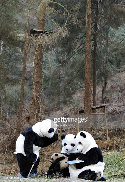 Feeders dressed as giant pandas give a physical examination to a giant panda at the China Conservation and Research Center for the Giant Panda on...