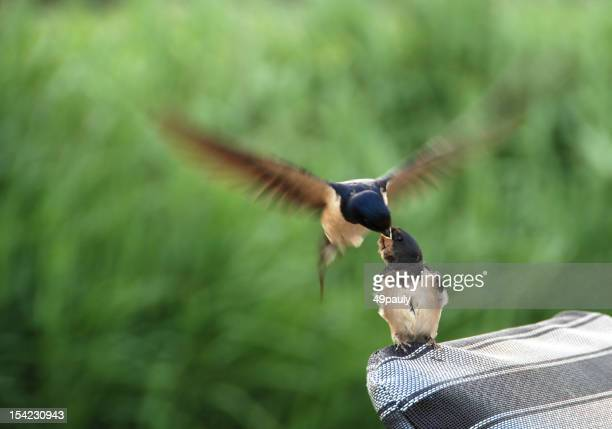 feeding a barn swallow
