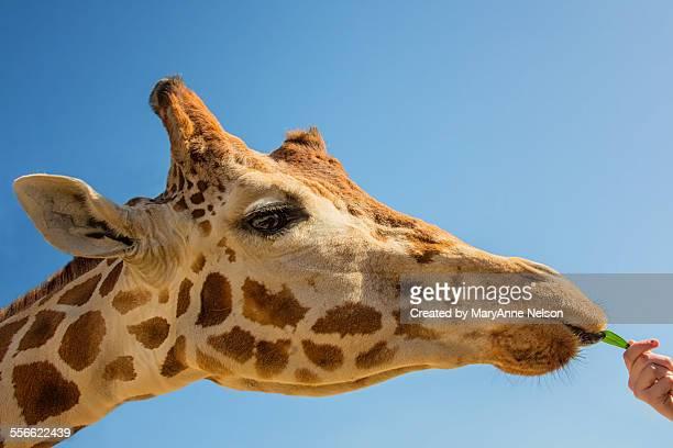 feeding a giraffe - escondido california stock photos and pictures