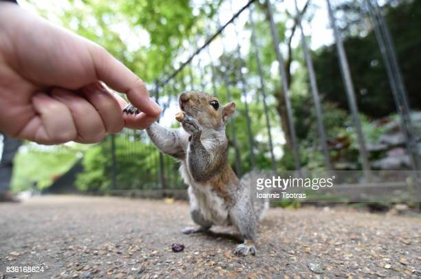 feeding a grey squirrel from hand - gray squirrel stock photos and pictures