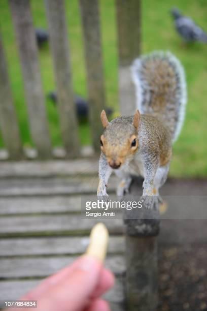 Feeding a grey squirrel