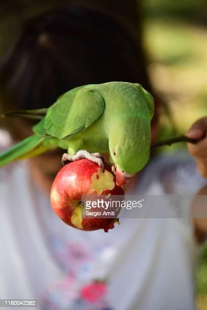 feeding a parakeet an apple on a stick - ワカケホンセイインコ ストックフォトと画像
