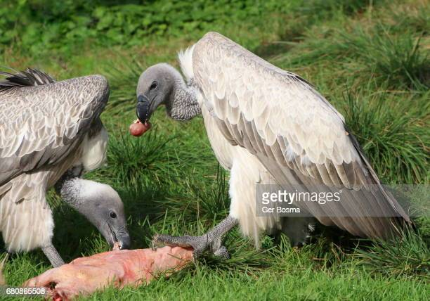 Feeding African White Backed Vultures